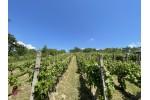 Videoobhliadka - Vinohrad v Skalici